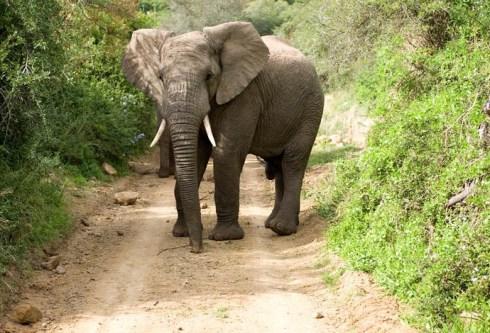 elephant_in_yard