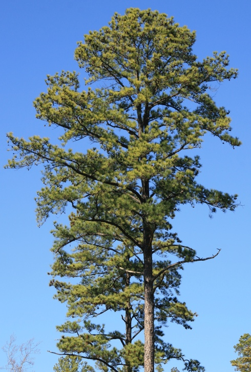 Pinus_taeda_loblolly_pine_large_crown