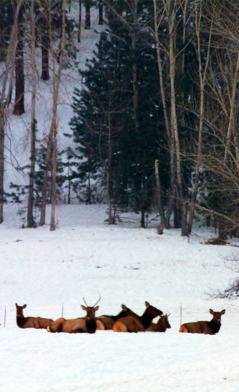 Elk Tribe - web